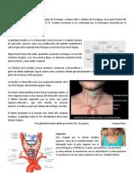 8. Tiroides