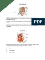 Anatomía y Fisiología Del Órgano Reproductor Masculino