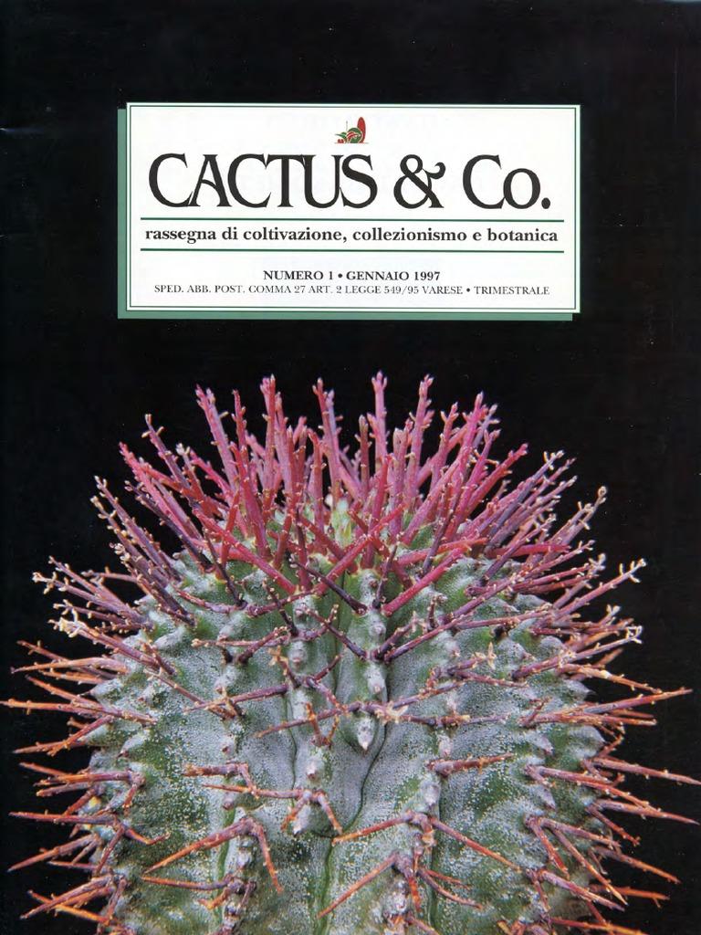 FIORI bianchi con gola rossa Gymnocalycium quehlianum 4cm ARGENTINA CACTUS