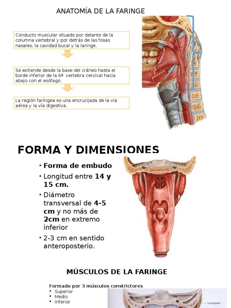 Asombroso Anatomía De La Cavidad Oral Y Faringe Ornamento - Imágenes ...