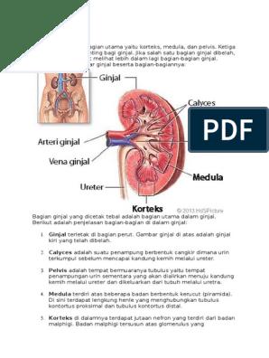 55 Gambar Organ Ginjal Beserta Bagiannya Paling Bagus