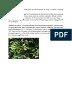 Kualitas Terbaik Gaharu Di Indonesia Berasal Dari Hutan Kalimantan Timur Yang Harganya Bisa Mencapai Hingga Rp150 Juta Per Kilogram