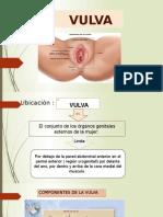 Vulva Anat. (1)