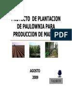 Pawlonia Madera