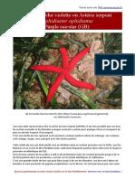 Ophidiaster ophidianus- etoile de mer lisse