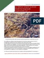 Ophioderma-longicauda-ophiure serpent