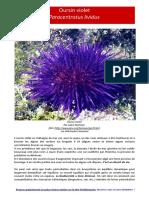paracentrotus-lividus-Oursin violet