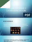 La Morfogenesis y La Diferenciacion