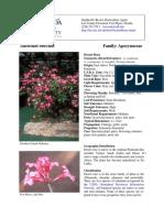 Dessert Rose Adenium Obesum