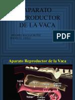Aparato Reproductor de La Vaca