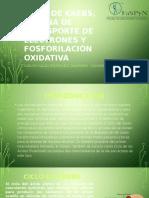 Ciclo de Krebs, Cadena de Transporte de Electrones y Fosforilación Oxidativa