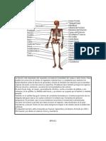 Imagenes Huesos y Musculos