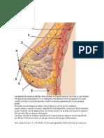 Anatomia mamaria.docx