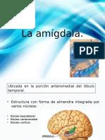 La amígdala.pptx