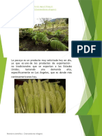 Diapositiva Cultivo Industrial Pacaya