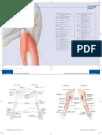 Arm Anatomy (Human)