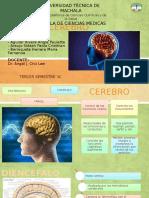 Cerebro Neuroanatomía