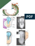 Láminas de Embriología