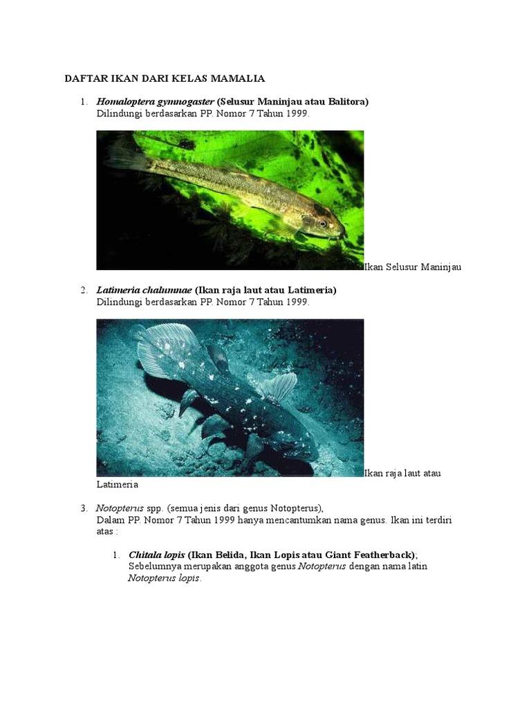 72+ Gambar Hewan Ikan Peyang Gratis Terbaru