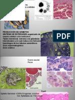 016Presentación1ovogenesis
