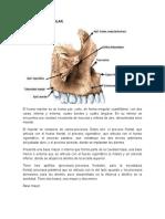 Anatomía Del Maxilar