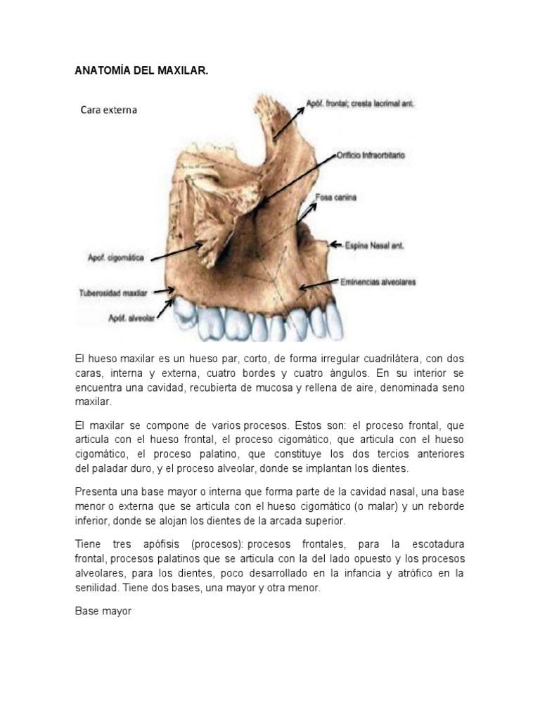 Famoso Anatomía Hueso Maxilar Ideas - Anatomía de Las Imágenesdel ...