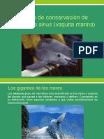 Cartel de Estado de Conservación de Phocoena Sinus Vaquita Marina