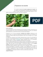 Como Cultivar Espinacas en Maceta