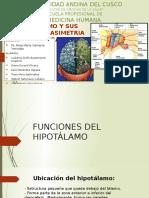 Hipotalamo y Sus Funciones- Asimetra Cerebral