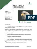 Ficha AGUILA CALVA _Haliaeetus Leucocephalus