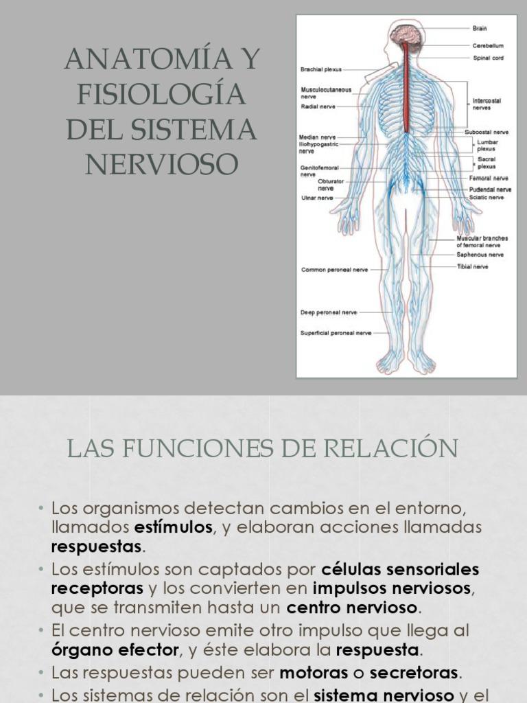 Moderno Sistema Central De La Anatomía Y Fisiología Nerviosas Ideas ...