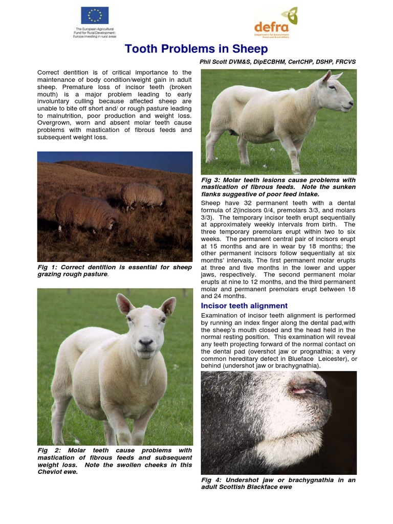 Tooth Problems in Sheep | Tooth | Sheep
