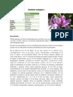 Bauhinia variegata L.docx