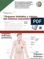 Práctica de laboratorio de inmunología - órganos linfoides.