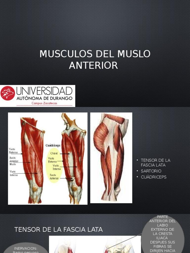 Musculos Del Muslo Anterior