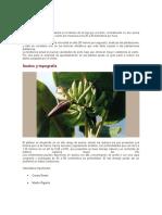 Platano -(ANACAFE) Control