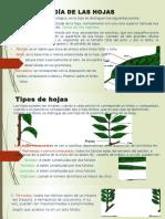 Morfología de Las Hojas