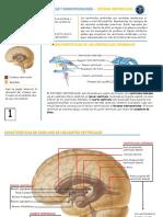 Infografia ventriculos cerebrales