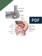 Aparatos reproductivos del género humano/ Anatomía Básica