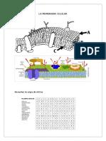 Membrana Celular - Colorea y Sopa de Letras