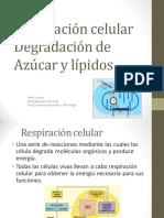 Ciclos Bioquicos Glucosa y Krebs
