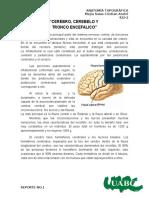 REPORTE 1 Cerebro, cerebelo y tronco enfalico.docx