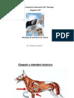 miologia toraxico pelvicocanino