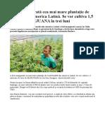 Cea Mai Mare Plantatie de Canabis Din America Latina
