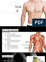muscles abodominal-2