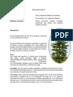 FT. 8 Pinus Chiapensis