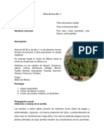 FT. 9 Pinus Devoniana