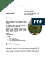 FT. 9 Pinus devoniana.pdf