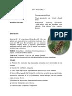 FT. 7 Pinus Ayacahuite