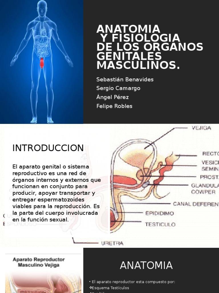 Encantador Diagrama De Genitales Masculinos Patrón - Anatomía de Las ...